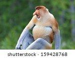 Stock photo proboscis monkey in the mangrove in labuk bay borneo 159428768