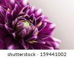 purple flower close up | Shutterstock . vector #159441002