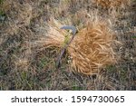 mowed hay and a sickle in... | Shutterstock . vector #1594730065