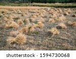 mowed hay in wakhan corridor ... | Shutterstock . vector #1594730068