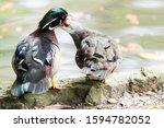 Mother Wood Duck With Her Son...