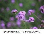 Verbena Purple Flowers In The...