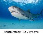 tiger shark at tiger beach in... | Shutterstock . vector #159496598