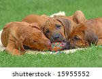 Stock photo cute rhodesian ridgeback puppies playing together in the garden with a ball 15955552