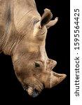 Rhino Close Up Portrait Too Near