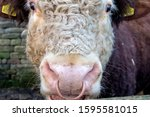 Closeup Of A A Bull's Head With ...