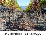 vineyard in autumn | Shutterstock . vector #159559202