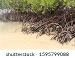 Close Up Of Long Mangrove Tree...