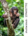 Bonobo On The Tree In Green...