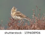 Small photo of Sky lark (Alauda arvensis) singing on the heather.