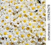 pot of daisies  | Shutterstock . vector #159629678