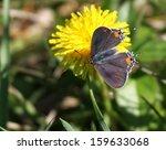 Tiny Gray Hairstreak Butterfly