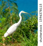 Eastern Great Egret Or Ardea...