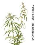 Cannabis  Marijuana  Plants On...