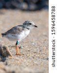 Small photo of A banded hatchling Piping Plover standing on the beach.