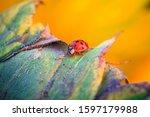 Macro Of Ladybug On A Blade Of...