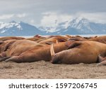 The Walrus Is A Marine Mammal ...