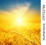 Wheat On Sunset. Soft Focus On...