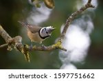 Crested Tit Perched On A Branch