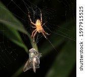 Garden Spider In Spider Net...