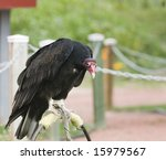 Turkey Vulture Perched In The...
