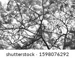 crown of acacia tree with pods. ... | Shutterstock . vector #1598076292