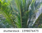 coconut palm leaves close up on ... | Shutterstock . vector #1598076475