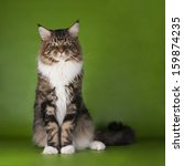 Stock photo maine coon cat 159874235