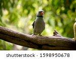 The Malabar Parakeet Is Eating...