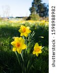 Yellow Daffodil Flowers In...