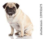 Pug Dog Isolated On A White...