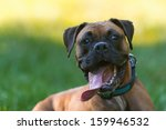 portrait of a funny boxer | Shutterstock . vector #159946532