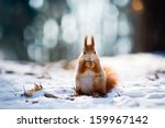 Cute Red Squirrel Eats A Nut I...