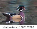 A Beautiful Male Wood Duck Wit...