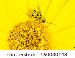 Spotted Cucumber Beetle ...