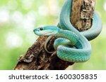 Small photo of White Lipped Pit Viper (Trimeresurus insularis), Venomous Snake, Venom, Viper Snake, Blue Viper Snake