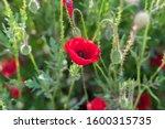 Poppy Flower Filed  Papaver...