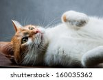 Stock photo cute playing cat domestic theme 160035362