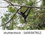Black Spider Monkey In Amazon...