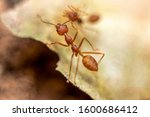 Fire ant on branch in nature...
