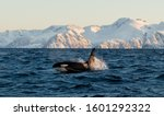 Orca  Orcinus   Cetacean  ...