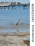 Great Blue Heron Hunting On...