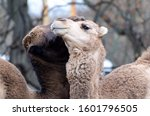 Pair Of Camels In The Zoo. Two...