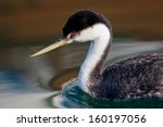 Small photo of Western Grebe (Aechmophorus occidentalis) in calm water in Ventura, California