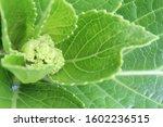 Green Hydrangea Flower Buds...