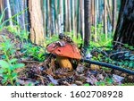 Mushroom In Forest. Autumn...