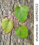 Three Leaves Close Up ...