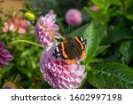 Red Admiral butterfly sits on beautiful pink flower in the sun. Red Admirals are black with broad, red stripes on the hindwings.