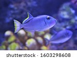 The Gilded Triggerfish Blue...