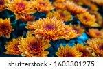 Orange Chrysanthemums In The...